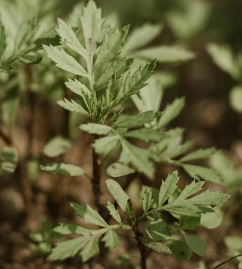 Icelandic herbal tea benefits, the best 8th tea!